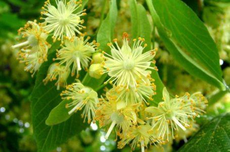 Lule bliri dhe mjaltë. Kura për shëndetin e mirë të organizmit