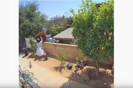Adoleshentja përballet me arushën për t'i mbrojtur qentë e saj (VIDEO)