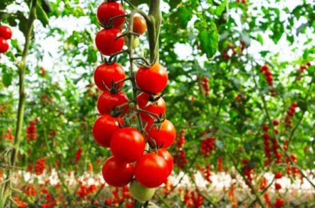 Shkencëtarët gjejnë zgjidhjen për ta rikthyer shijen e humbur të domates
