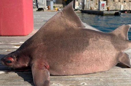Detarët kapin krijesën e çuditshme me trup peshkaqeni dhe fytyrë derri