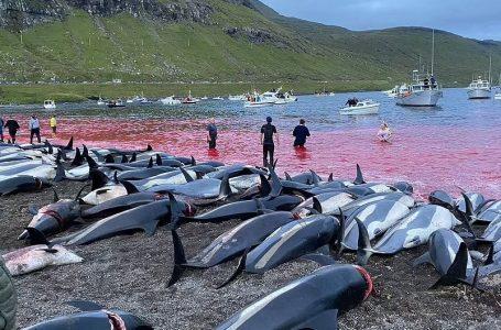 Deti ngjyroset me gjak për traditë në Ishujt Faroe (VIDEO)