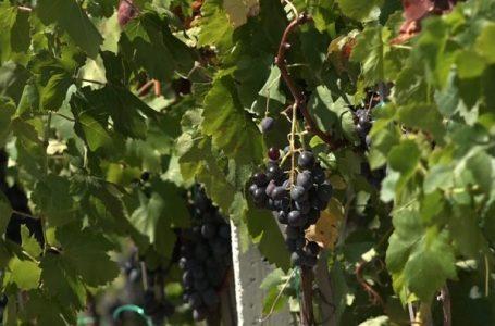 Vreshtarët ankohen për çmimin për kilogram rrushi: I ulët, nuk mbulojmë as shpenzimet
