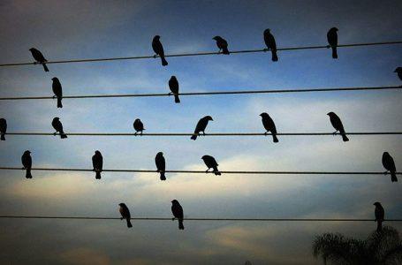 Pozicionet e zogjve në telat elektrikë shndërrohet në muzikë (VIDEO)